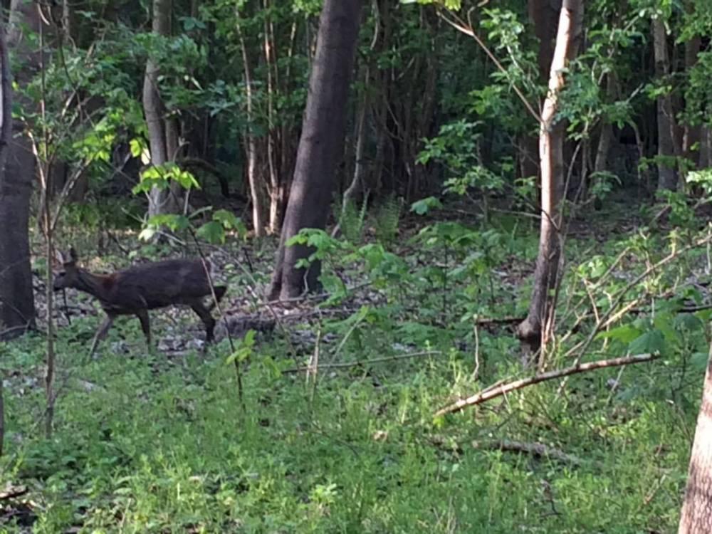 Un ciervo en el enorme bosque de la ciudad de Kühlungsborn