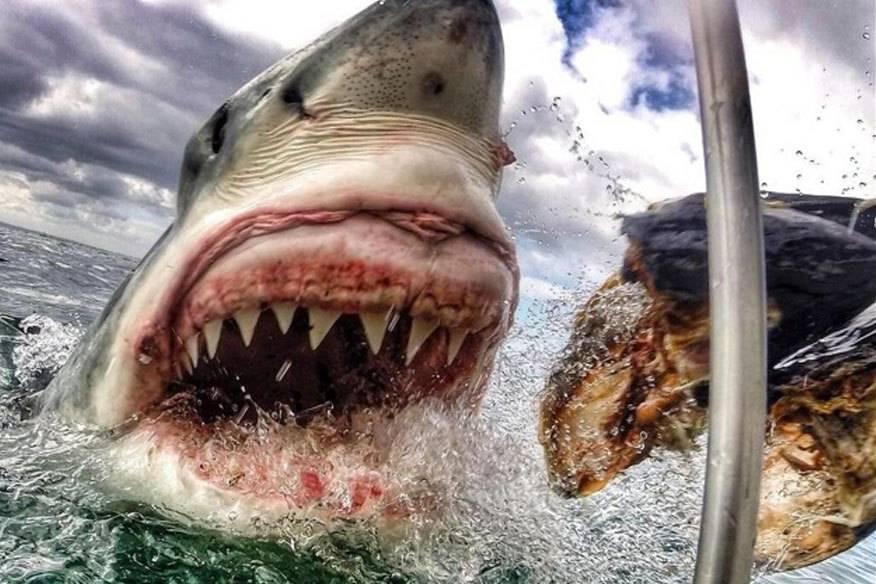 Amanda Brewer twitterte im Netz ihre einmalige Momentaufnahme des Weißen Hais