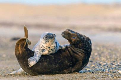 Ein guter Grund für eine Reise nach Helgoland: die Kegelrobben