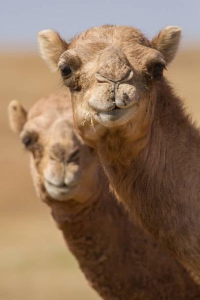 Kamele – im Oman die einhöckrigen Dromedare – kreuzen immer wieder den Weg