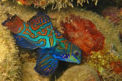 Ein Highlight für Unterwasserfotografen sind die bunt gefärbten Mandarinfische