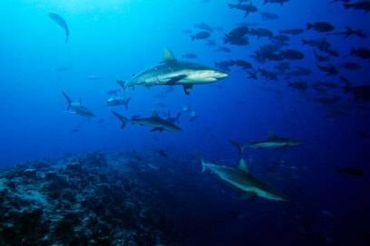 Die Grauen Riffhaie vor Palaus Inseln interessieren sich mehr für Muränen und Doktorfische als für Menschen
