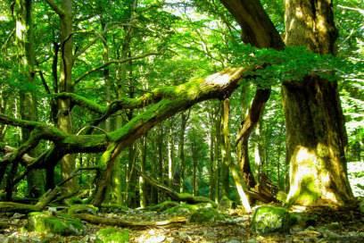 Ein alter Baum – jedes Jahr sollen rund 200.000 bis 300.000 Buchen unter Fichten