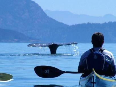 Vom Kajak aus könnte man dem Wal fast an die Flosse fassen