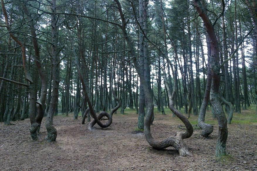 """Als wären sie betrunken, oder würden tanzen: die Bäume des """"Tanzenden Wald"""" in Kaliningrad"""