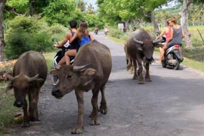 Immer wieder kreuzen Wasserbüffel die Straßen um Kuta