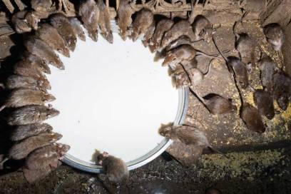 Dutzende Ratten trinken aus einer silbernen Schale voll mit Milch