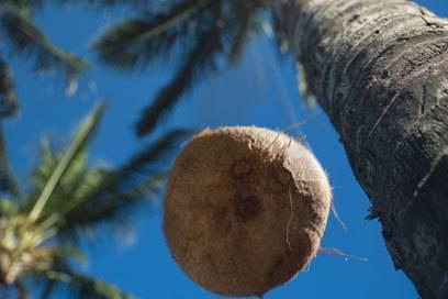 Sieht harmlos aus, ist aber tödlicher als Hai-Attacken: eine herabfallende Kokosnuss