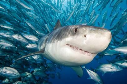 Der Weiße Hai ist Titelheld des gleichnamigen Films von Steven Spielberg, der mit den Urängsten der Menschen spielt