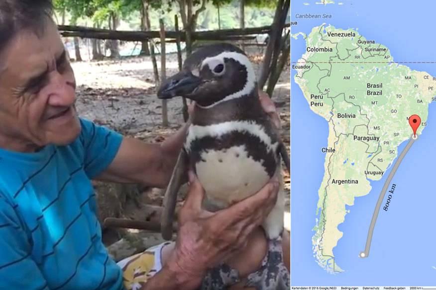 Echte Freundschaft! Pinguin schwimmt 8000 km, um seinen Retter zu besuchen