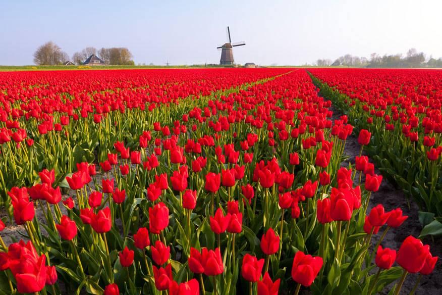 Tulpenfelder soweit das Auge reicht, und am Horizont eine Windmühle: So kennt man Holland