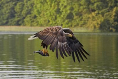 Seeadler auf der Jagd: Auf Rügen kann man beeindruckende Tiere sehen