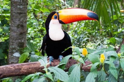 Touristen staunen oft, wenn ein Tukan ihnen ganz nah kommt. Seine Scheu vor Menschen hat er in vielen Gegenden schon verloren