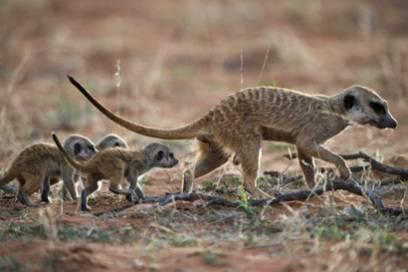 Ein Erdmännchenweibchen versorgt seine Jungen
