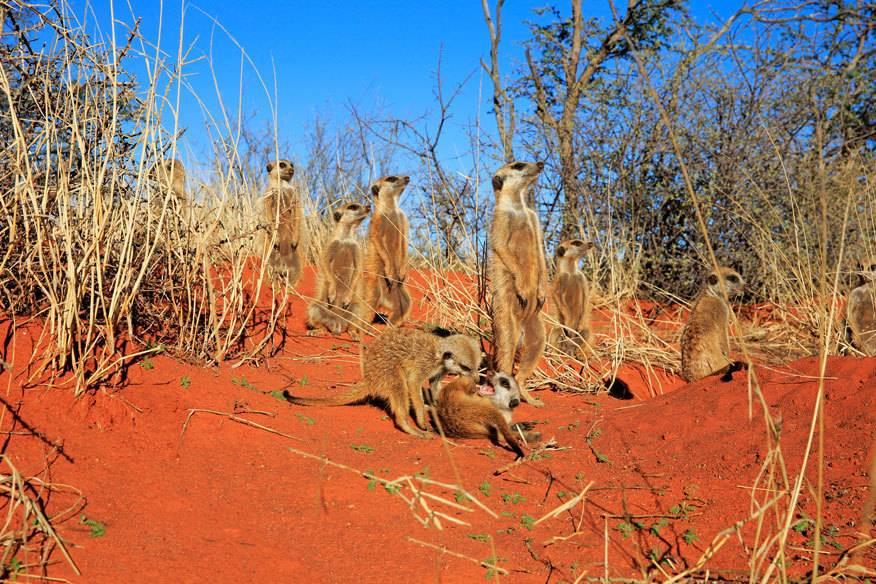 Die niedlichen Erdmännchen sind in der Kalahari zuhause