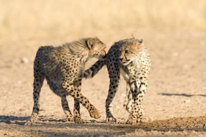 Nicht nur Erdmännchen, auch andere wilde Tiere, wie Giraffen, Löwen und Leoparde gibt es im Augrabies Falls Nationalpark