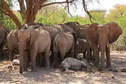 Um in Namibia ein paar der äußerst seltenen Wüstenelefanten zu sehen, braucht man viel Glück oder erfahrene Guides