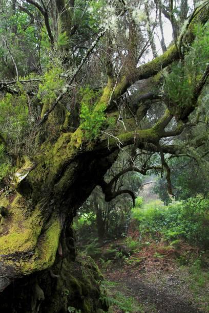 Mystisch: im Lorbeerwald