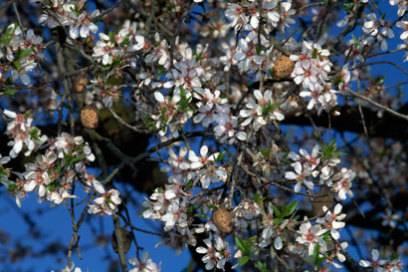 Ibizas Mandelbäume erwachen um die Weihnachtszeit langsam zum Leben