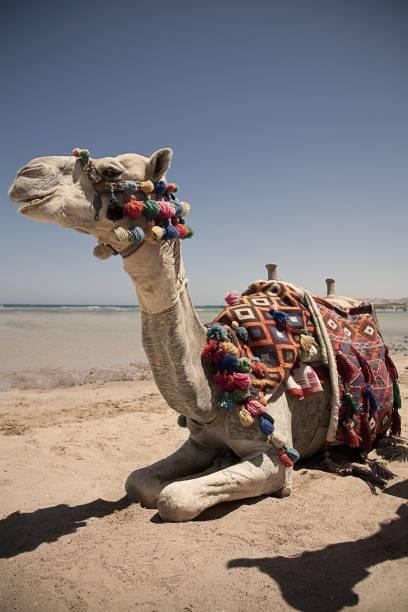 Oder vielleicht doch auf dem der Kamele? Finden Sie heraus, was Ihnen besser gefällt. In El Gouna haben Sie die Wahl, auf welchem der starken Vierbeinern Sie am Roten Meer entlang reiten wollen