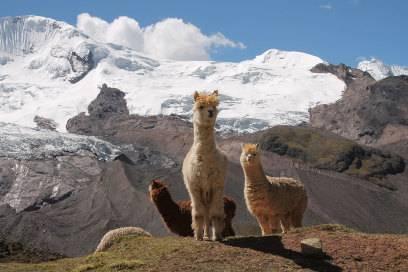 Alpakas findet man in Peru allerorts