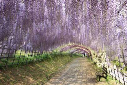 Romantisch: der Kawachi-Fuji-Garten in Japan