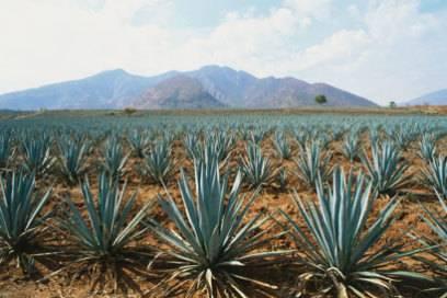 Aus der wird das mexikanische Nationalgetränk gemacht