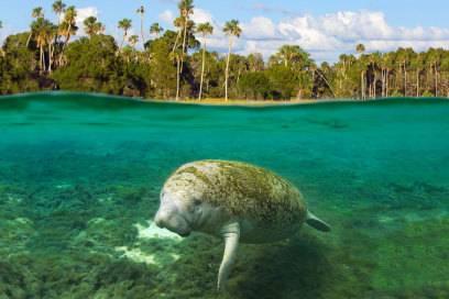 Im Norden Floridas kann man im Crystal River einem Manatee in freier Wildbahn begegnen
