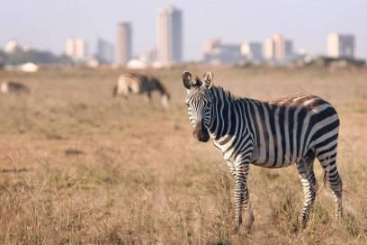 Zebra vor der Skyline von Nairobi, Hauptstadt Kenias. Der Nairobi-Nationalpark liegt etwa sieben Kilometer vom Stadtzentrum entfernt. Nur ein Zaun trennt die Tiere von der Stadt