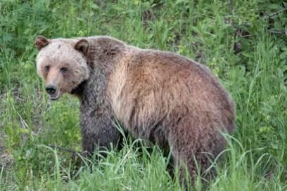 Diesem Bär begegneten Selima, Felix und Rudi in Kanada