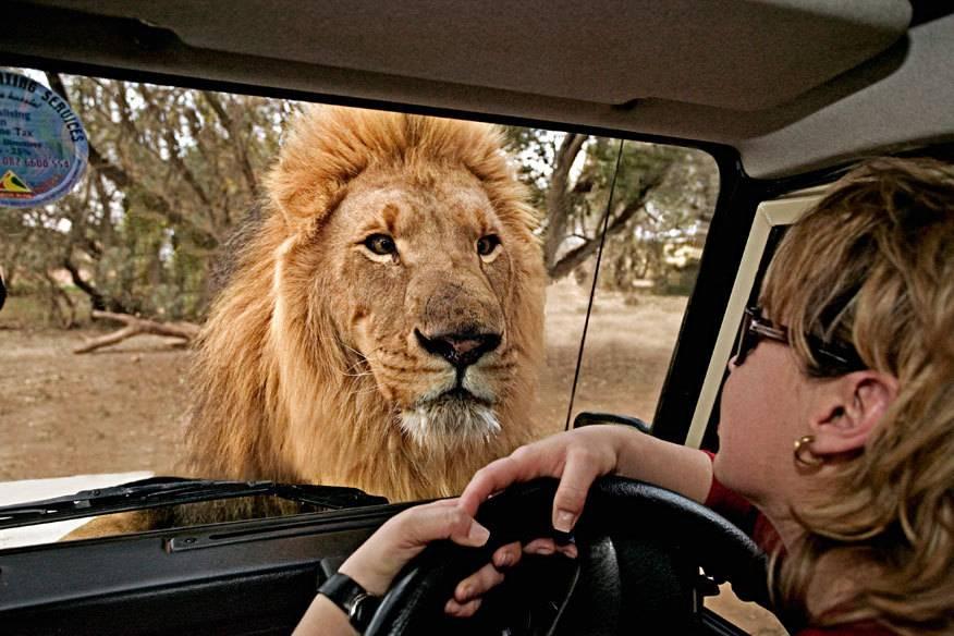 Damit Tiere auf einer Safari nicht aggressiv werden, sollte man einige Regeln befolgen. Dann wird die Tour durch Wildparks zum großen Abenteuer