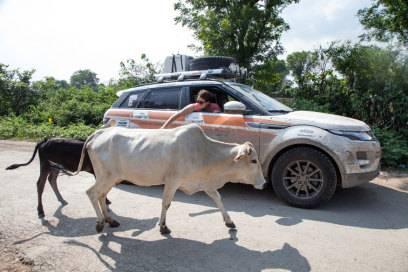 Kühe, die in Indien heilig sind, begegnen Reisenden überall. Im Auto gilt dann: vorsichtig umfahren