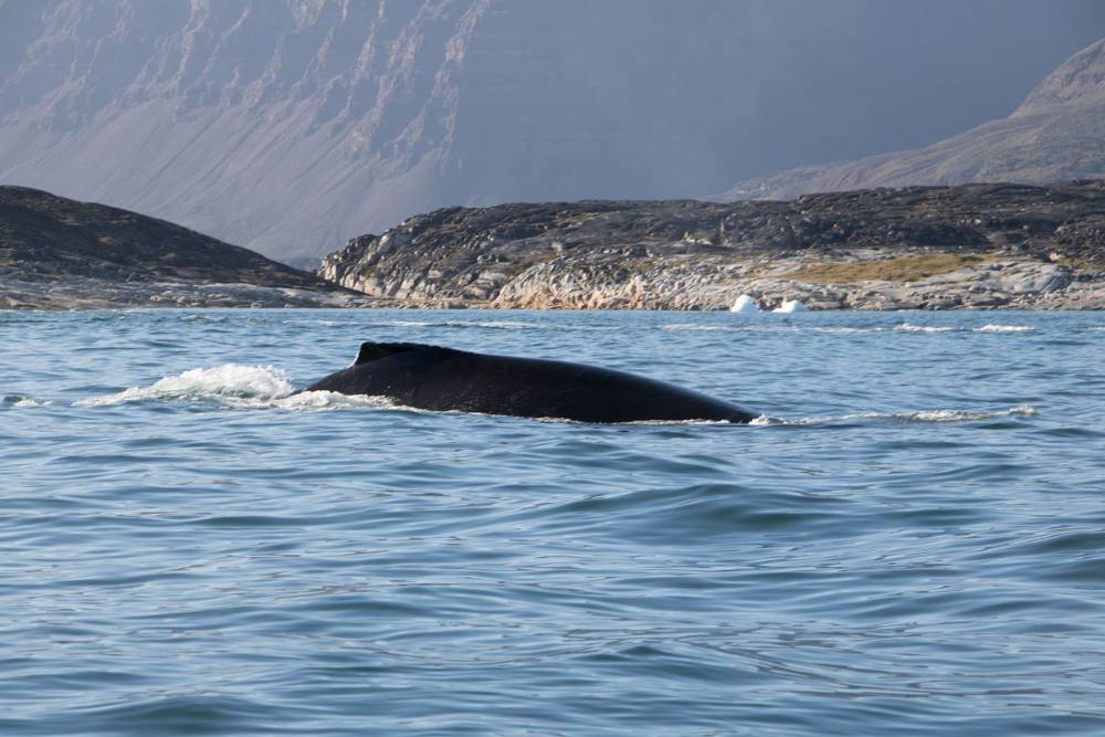 Grönland, Wal
