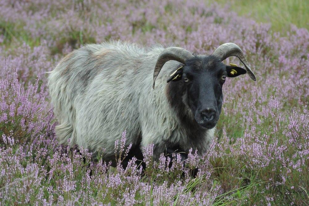 Heidschnucken-Schaf.
