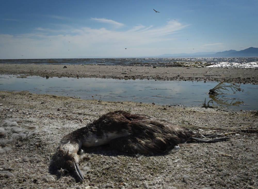 Salton Sea, toter Vogel