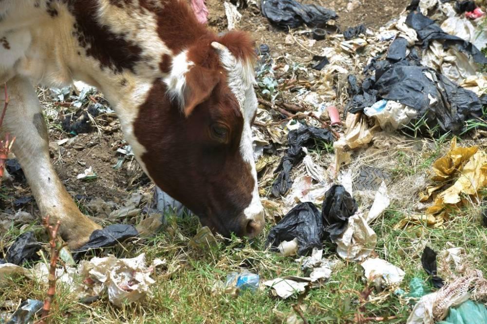 Kuh isst inmitten von Müll