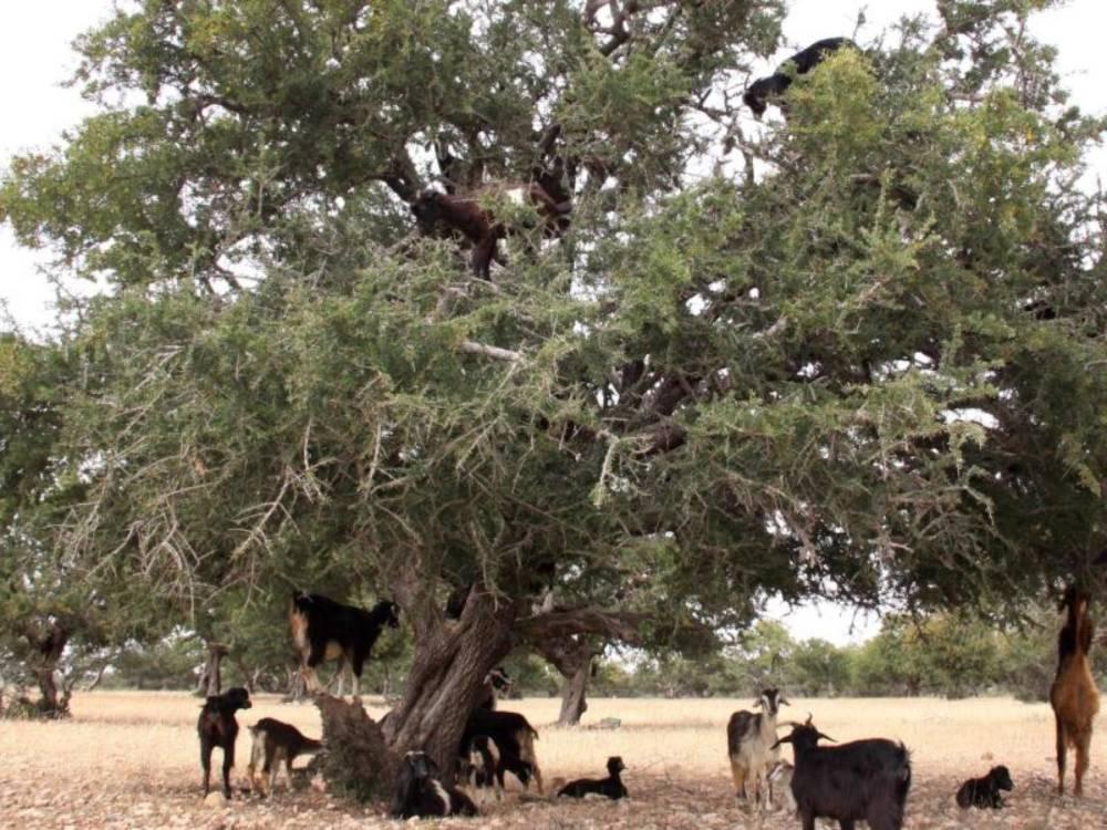 Baum und Ziegen in Marokko