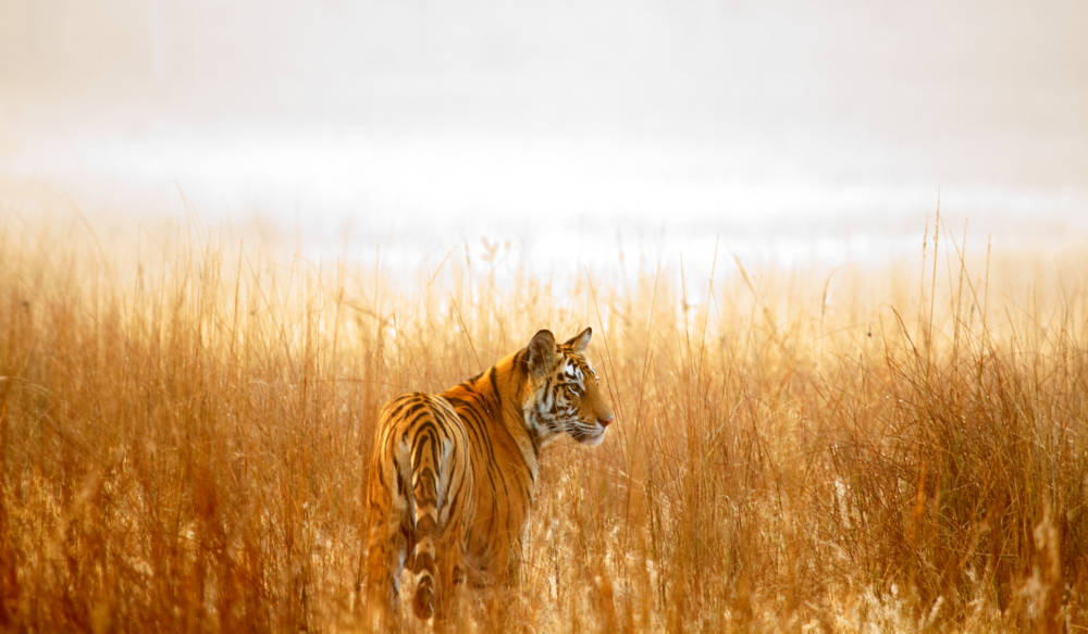 Tigertourismus in Indien