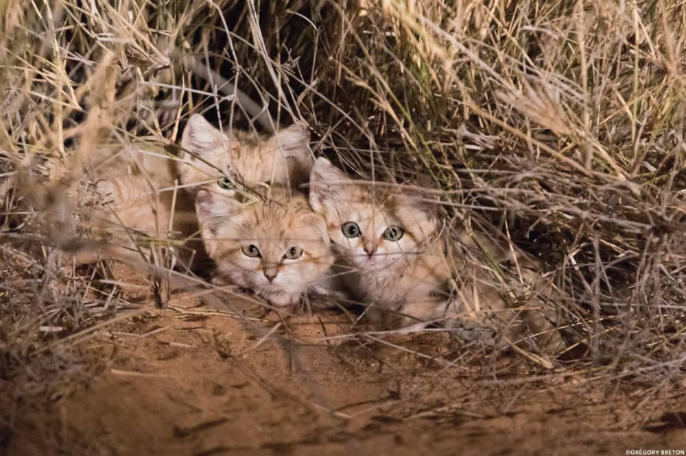 Sandkatzen