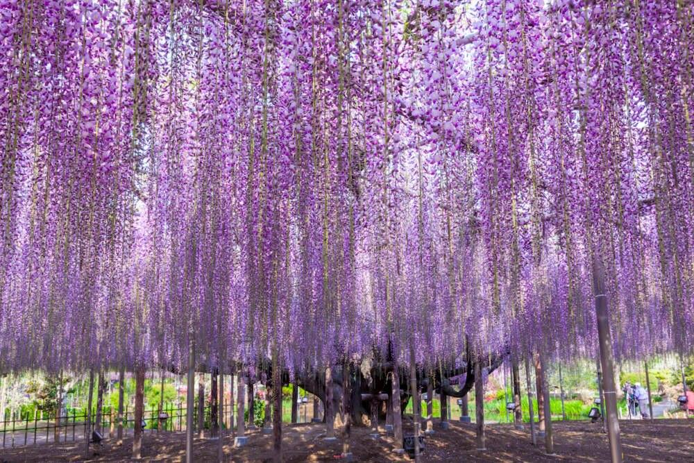 Blauregen japan