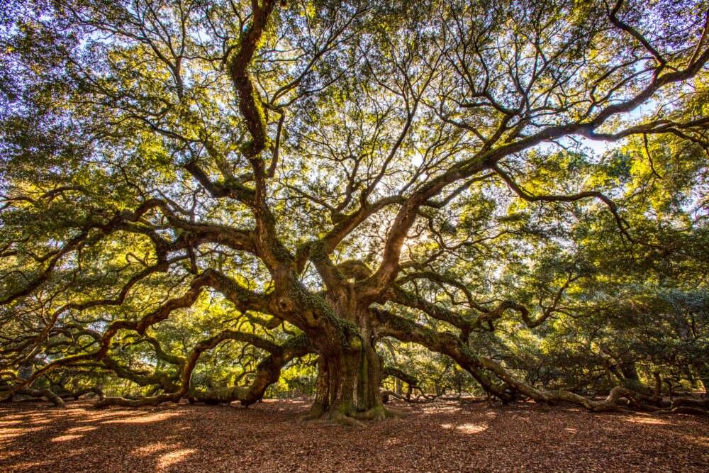 Angel Oak Baum