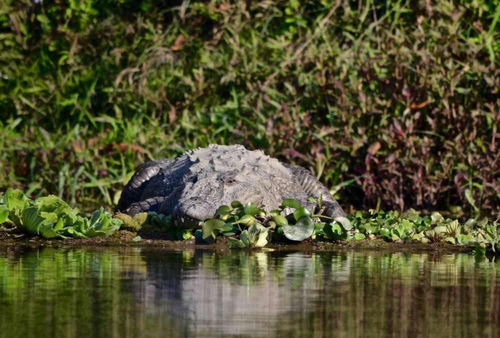 Krokodil Nepal