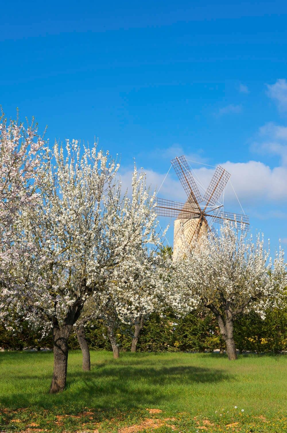 Mandelbaumplantagen sind über ganz Mallorca verteilt