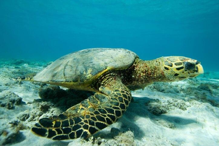 Echte Karettschildkröte, Mayotte
