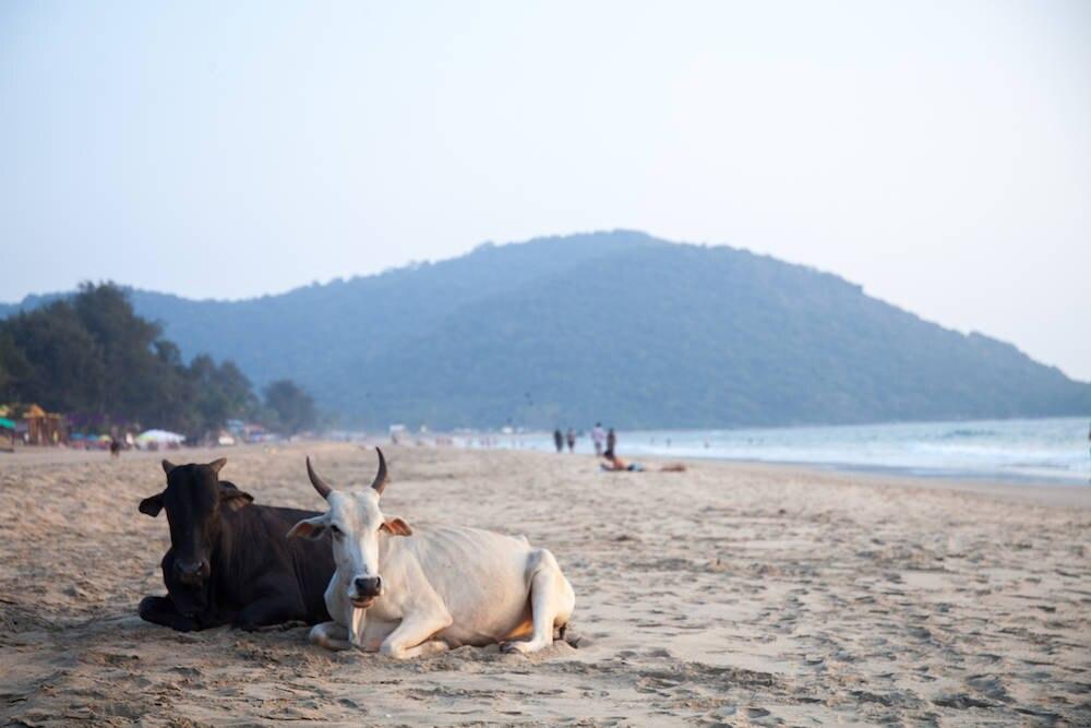 Kühe am Strand von Agonda