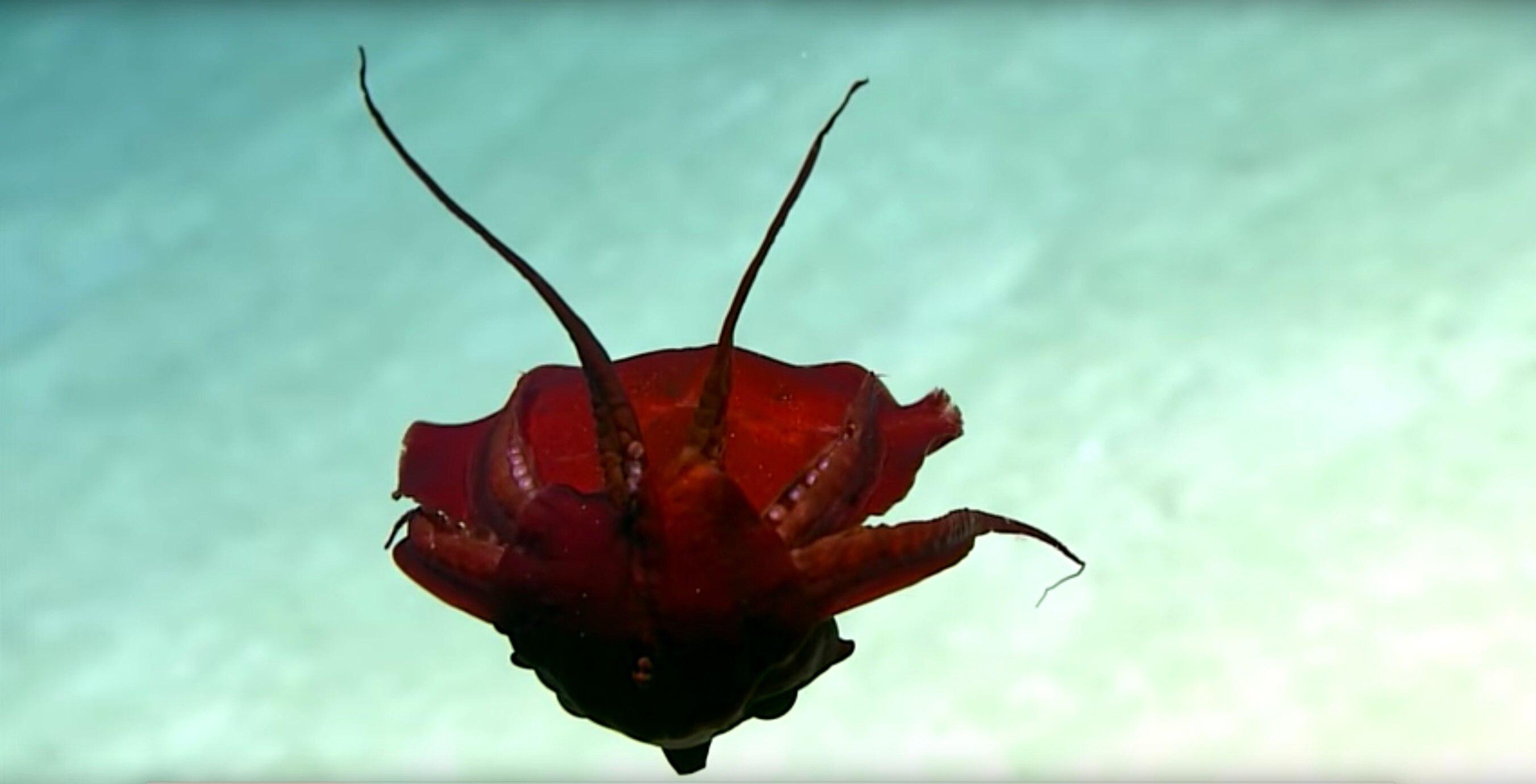 Forscher entdecken seltsame Kreatur im Golf von Mexiko