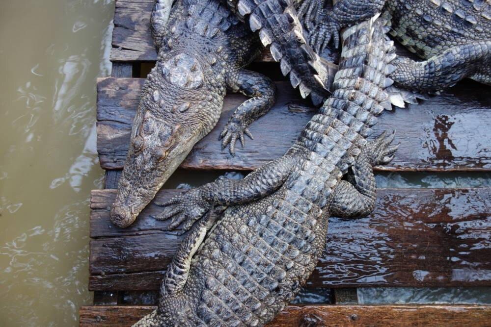Kambodscha Krokodil