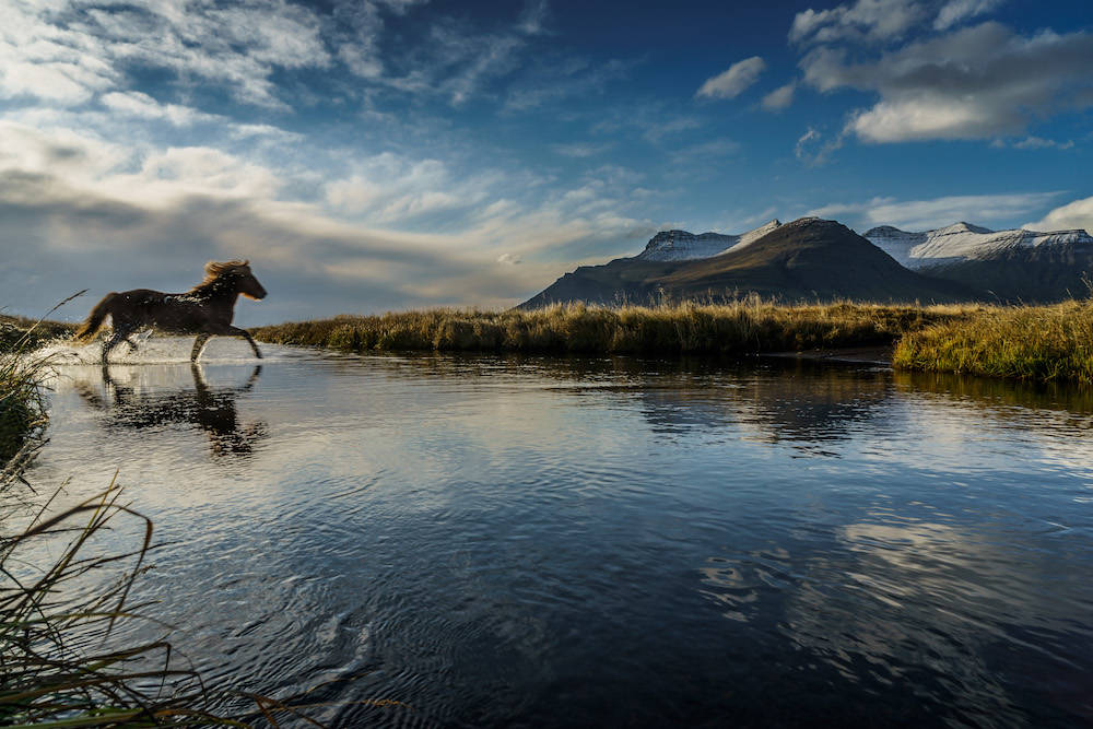 Island-Pferd