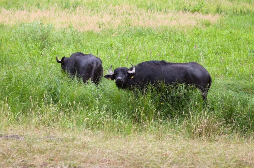 Büffel auf der Pfaueninsel