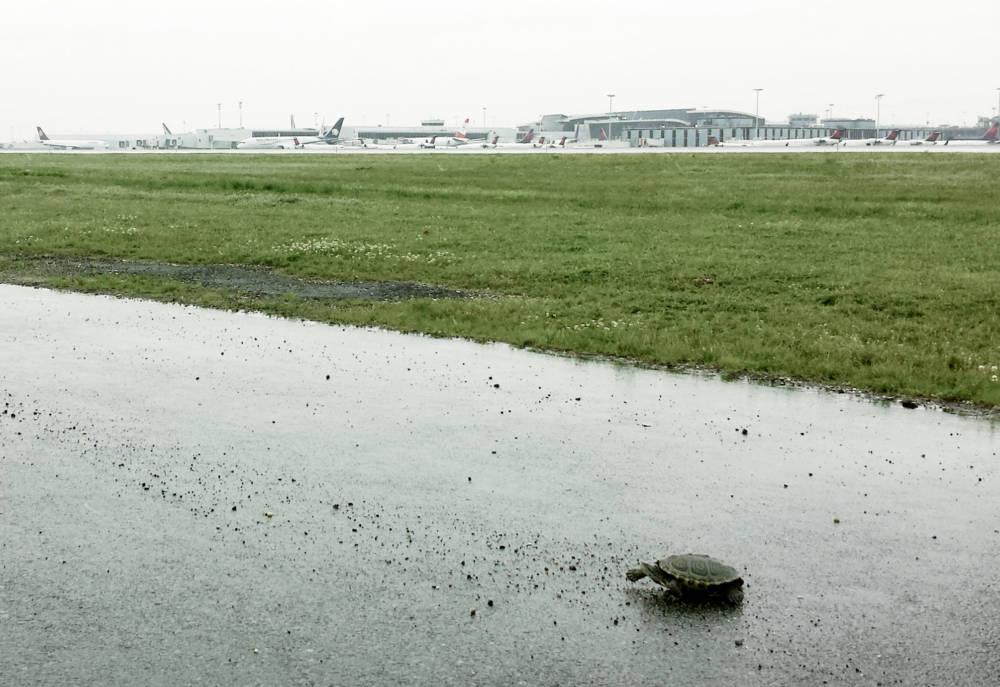 Diamantschildkröte am JFK-Flughafen in New York